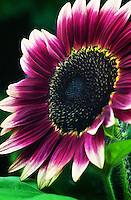Strawberry Blonde Sunflower - Helianthus annuus