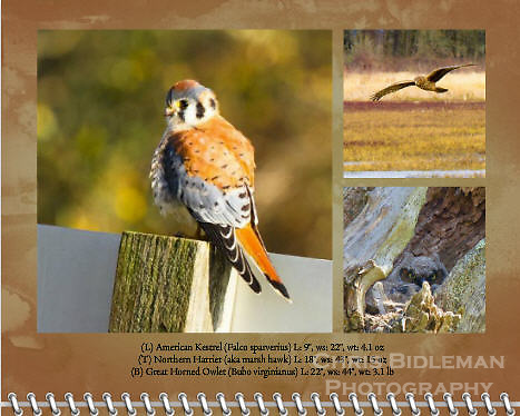 "May of the 2012 Birds of a Feather Calendar.  The three photos on the page called ""Amerian Kestrel on sign post"", ""Northern Harrier flying low"", and ""Owlet peeking out of nest."""