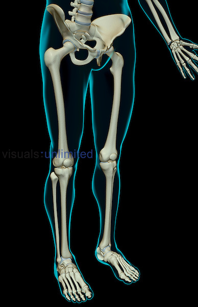 An anterolateral view (right side) of the bones of the lower body. The surface anatomy of the body is semi-transparent and tinted green. Royalty Free