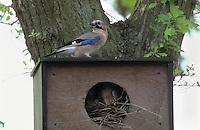 Eichelhäher, Nest in einem Nistkasten, Eichel-Häher, Häher, Garrulus glandarius, jay