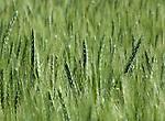 Wheat heads bobbing in the wheatfields