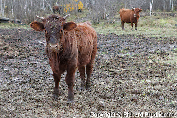 A young  Saler beef cattle standing in muddy pasture
