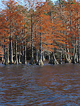 Bald Cypress trees are a brilliant red in autumn