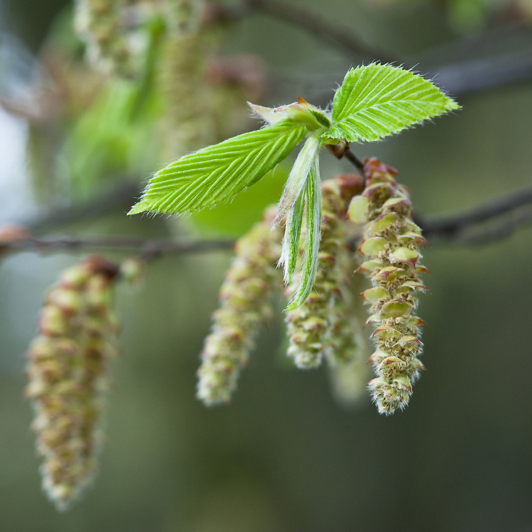 Catkins and new young leaves of fastigiate hornbeam (Carpinus betulus 'Fastigiata'), late March.