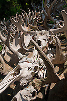 Moose skulls and antlers collected by researchers from Michigan Technological University as part of a moose and wolf study at Isle Royale National Park.