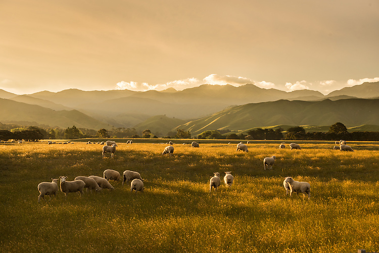 A mob of grazing sheep are bathed in golden sunset light near Masterton. Wairarapa New Zealand.