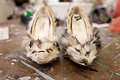 """April 11, 2011. Raleigh, NC.. Two found opossums create the shoes for the """"Roadkill Dress"""" ensemble. . Veronica Tibbitts, a senior in the NCSU School of Design, has used found roadkill to construct some of her designs for the school's annual Art to Wear fashion show. Tibbitts taught herself to skin and cure the animals and then incorporated them into her ideas for the show.."""