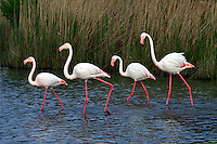 Two pairs of flamingos in parade in the marshes of Camargue, in France.