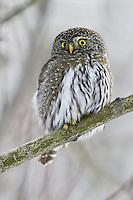 Northern Pygmy Owl perched on a poplar tree