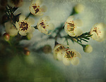 Small delicate white flowers