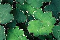 Plant leaves with water drops.