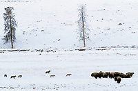 A pack of Gray Wolves approach a small herd of bison in Yellowstone National Park, WY.  Winter.  After the bison stood their ground and stared down the wolves, the wolves moved on looking for easier prey.