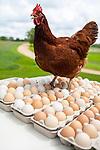 Rhode Island Red Chicken