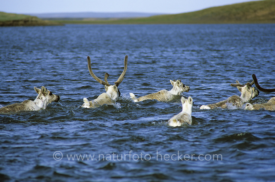Rentier, Ren-Tier, Europäisches Ren, Herde überquert einen Fluss, schwimmend, domestiziert, Rangifer tarandus, reindeer, Tundrarentier, Tundra-Rentier, Karibu, caribou, Nord-Norwegen