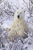 Polar Bear sitting in the snow surrounded by bushes