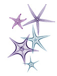 X-ray image of pointy sea stars (cool colors on white) by Jim Wehtje, specialist in x-ray art and design images.