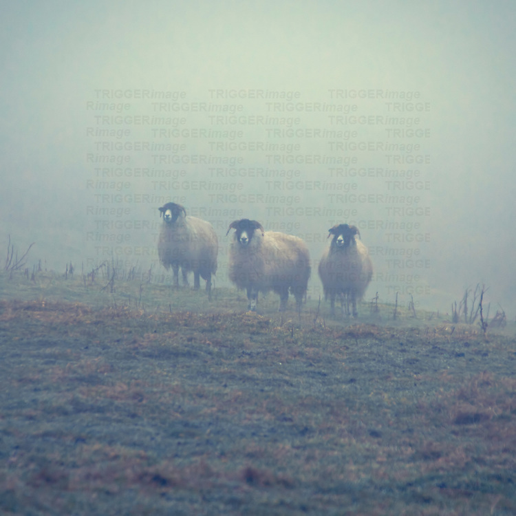 Hardy sheep in thick fog