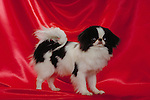 Japanese Chin in the studio<br />