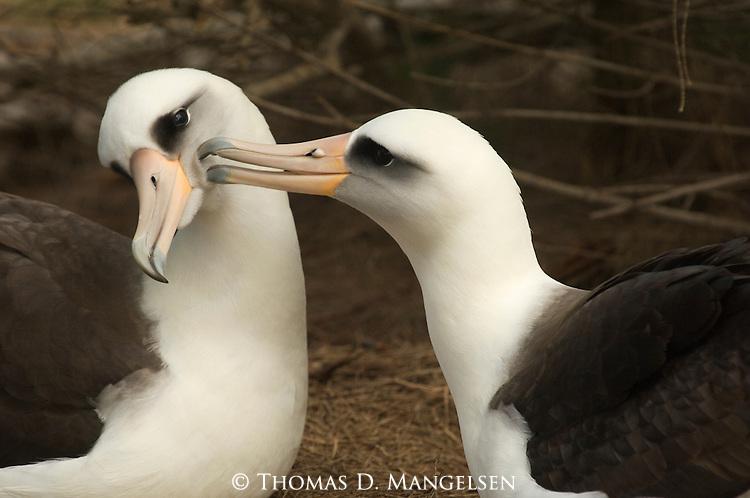 Pair of Laysan Albatross courting.