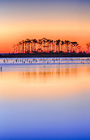Sunrise and reflection silhouette a stand of pine trees in a shallow pond on the Outer Banks.