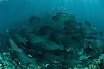 Huge schooling bumphead parrotfish (Bolbometopon muricatum) with large schooling bigeye jacks or trevallies (Caranx sexfasciatus)  at the edge of the reef