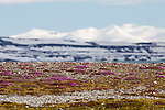 Purple saxifrage in bloom at Gnalodden, Norway, Svalbard