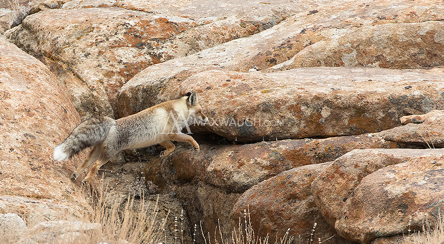 A red fox leaps across boulders in the Himalayas.