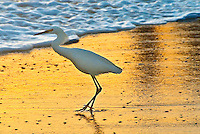 A Snowy Egret scavenges the Santa Monica shoreline
