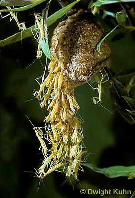 1M05-109z  Praying Mantis nymphs emerging from egg case - Chinese Praying Mantis - Tenodera aridifolia sinensis.