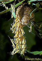 1M05-109z  Praying Mantis nymphs emerging from egg case - Chinese Praying Mantis - Tenodera aridifolia sinensis.