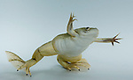 African clawed frog, Silurana sp.