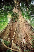 Researcher looking at giant butressed rainforest tree, Barro Colorado Island, Panama