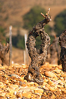 A Grenache vine and pebbly rocky galet soil at Chateau des Fines Roches in Chateauneuf-du-Pape, Vaucluse, Rhone, Provence, France