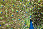 Blue peafowl or Indian peafowl, Pavo cristatus, native to South Asia