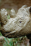 Sumatran rhinoceros, native to the rainforests of Indonesia