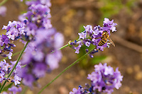 A honeybee sips on lavender flowers. (Apis mellifera)