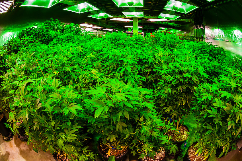 the green mile is a 150 foot long grow room where pot plants are kept in thei. Black Bedroom Furniture Sets. Home Design Ideas