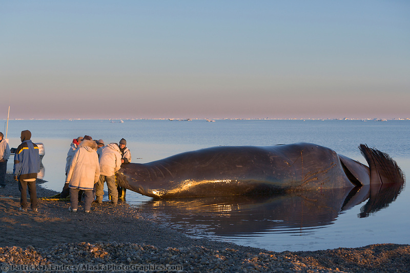 Inupiat whale hunters return to the Village of Kaktovik on Barter Island, Beaufort Sea, Arctic Alaska, with a Bowhead whale taken under the subsistence harvest quota.