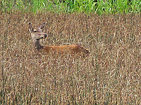 Irish Red Deer in Rushes