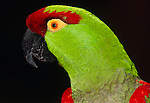 Thick-billed parrot portrait (captive).