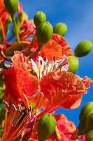 Flamboyant flowers<br /> Virgin Islands