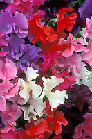 Lathyrus odoratus 'Mixed Spencer' Highly Perfumed mix variety of colors of sweetpeas sweet pea flowers pink, purple, white, red, blue