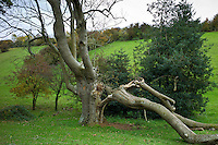 Damaged ancient ash tree in the Cotswolds, UK