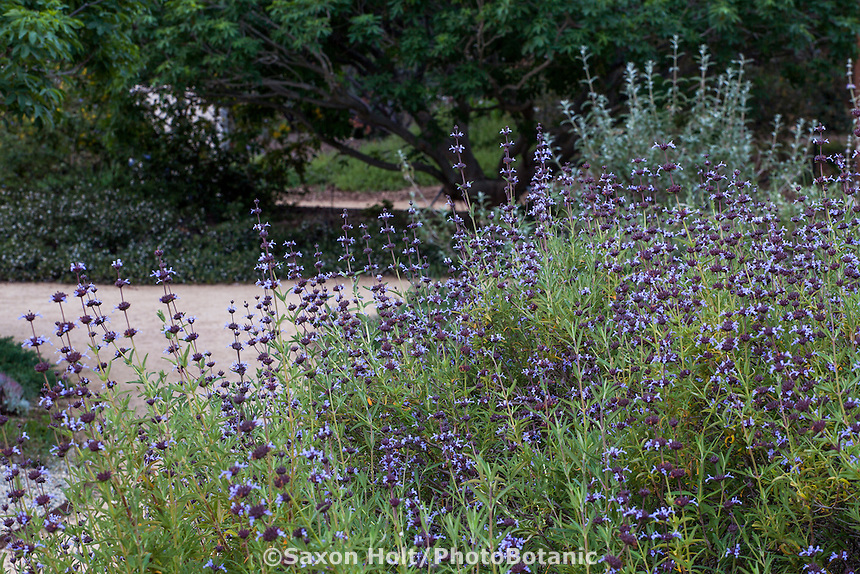 Salvia brandegeei 'Pacific Blue' (Santa Rosa Island Sage) flowering California native perennial cultivar