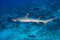 Sipadan, Sabah, Borneo, Malaysia, October 2010. Whitetip Reef Sharks patrol the waters around the wall of Sipadan. 36 kilometers from mainland Semporna lies the Island of Sipadan, one of the worlds most beautiful divesites. Since the island resorts were closed due to environtmetal issues, the resorts of Kapalai and Mabul have been the main basis for diving sipadan. Photo by Frits Meyst/Adventure4ever.com