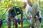 Foto: VidiPhoto<br /> <br /> DODEWAARD - Het ziet er niet best uit voor de Nederlandse wijnoogst. Wijngaarden hebben te kampen met meeldauw en de Suzuki fruitvlieg die voor veel rotte druiven zorgt. Daarom plukt wijngaardenier Teun Geluk van de S-akker (r) uit Dodewaard woensdag de meest slechte druiventrossen van zijn 1300 wijnstokken, voordat maandag de echte oogst begint. De druiven in de voorpluk worden gebruikt voor zoete wijn. Doordat fruitvliegjes voor verzuring zorgen, worden trossen met rotte druiven uit voorzorg weggeknipt. De wijnen van Geluk vallen ieder jaar in de prijzen. Wijnboer Freek Verhoeven van Wijnhoeve de Colonjes uit Groesbeek, de grootste wijngaard van Nederland, noemt de oogst dit jaar &quot;een ramp. De meeldauw heeft zelfs resistente druiven aangetast. Dit heb ik nog niet eerder meegemaakt.&quot; Oorzaak is volgens hem de lange en natte periode van twee weken terug.