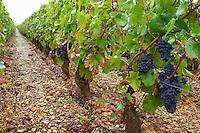 pinot noir vineyard le corton vyd aloxe-corton cote de beaune burgundy france