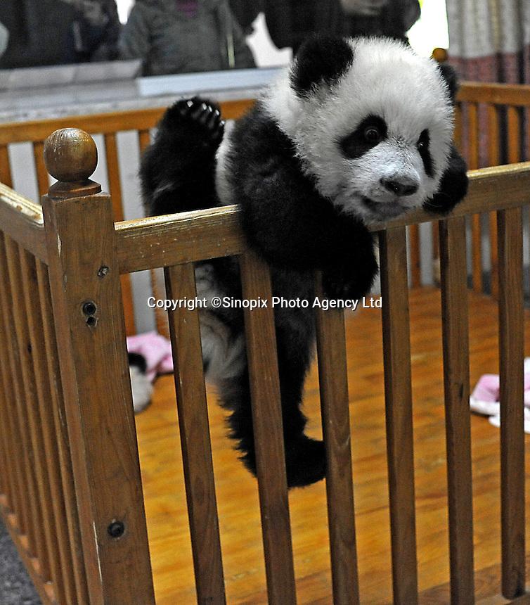 A baby panda tries to escape from the panda nursery , Chengdu, China, Dec 2009.  ...