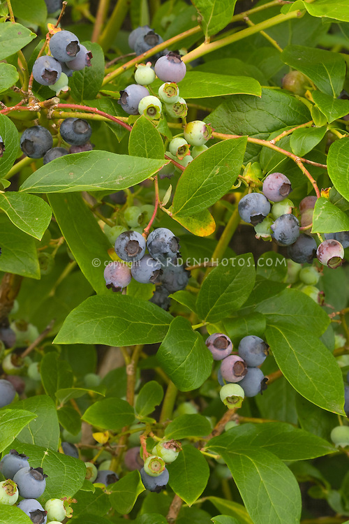 Blueberry Polaris growing in fruit showing closeups of berries ripening