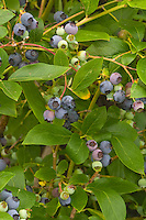 Blueberry Polaris growing in fruit showing closeups of berries ripening. Highbush blueberries, Vaccinium corymbosum
